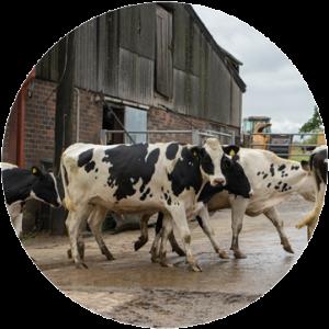 Dairy farms walking in farm yard